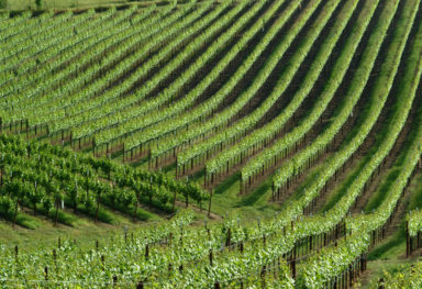 Sonoma, CA Vineyard